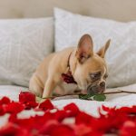 Facts About French Bulldog Puppies